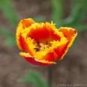 Ohnivý tulipán proti vypadávání vlasů