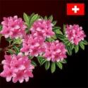 Kmenové buňky z alpské růže